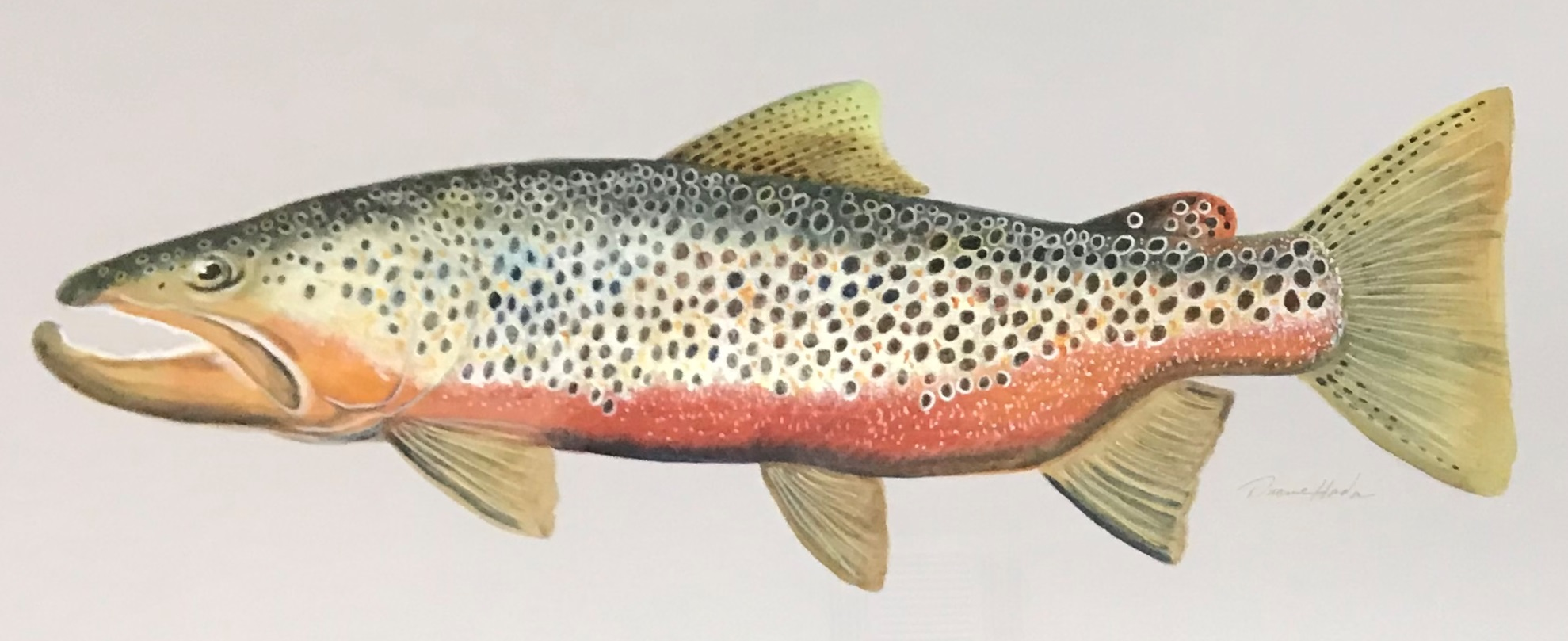 Spawning Brown Trout - Watercolor13 x 30$1250.00