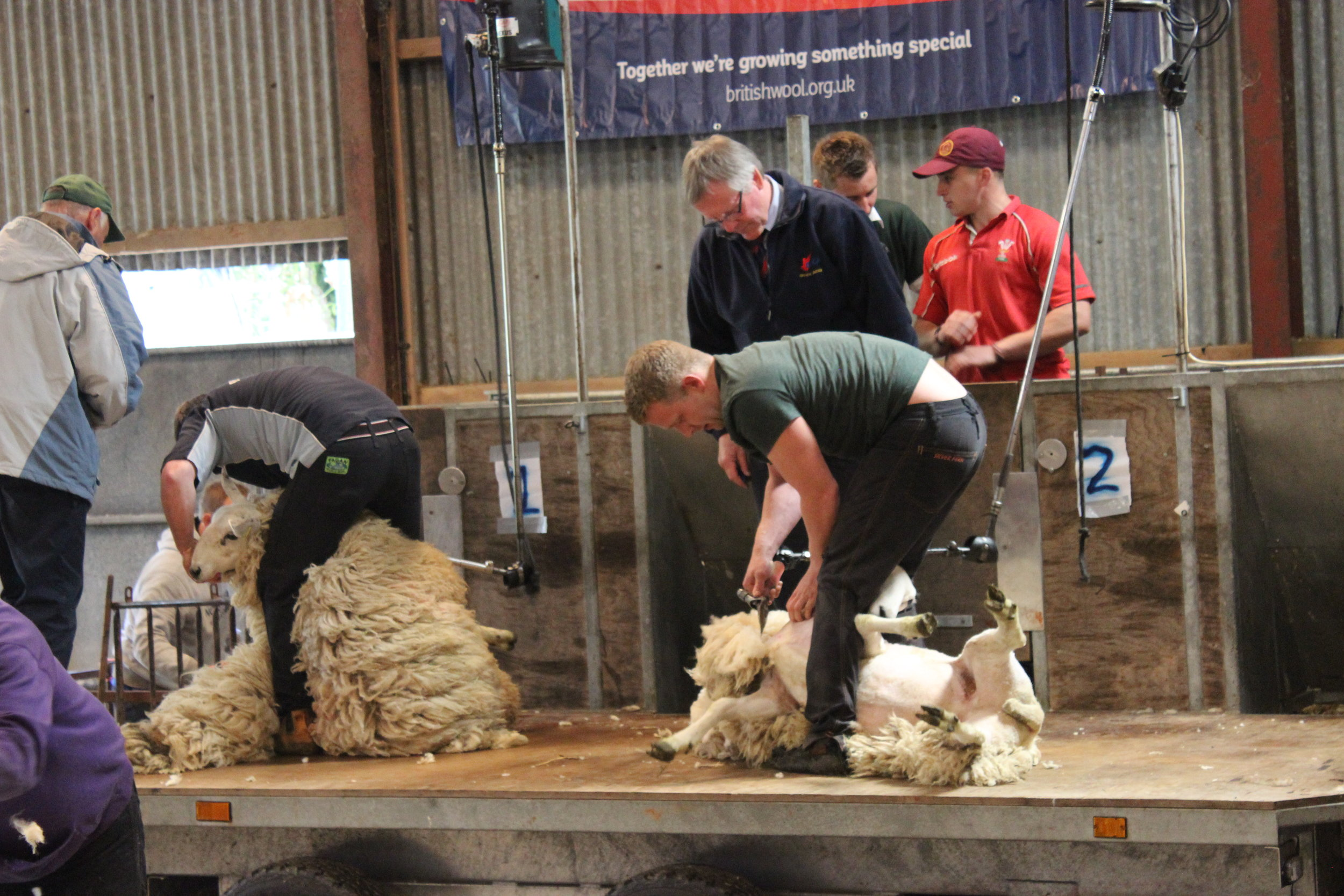 Shearing competitions.