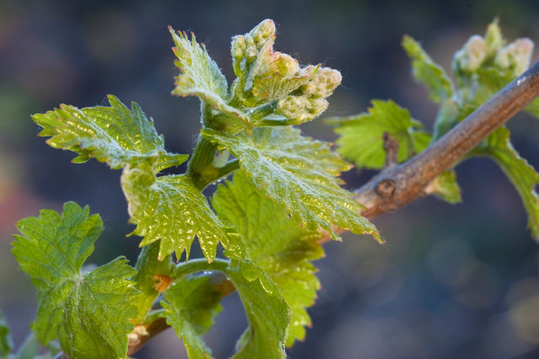 jeune pousse de vigne.jpg