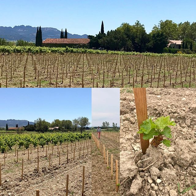 Looking at our two new plantations of #grenache at the Northern part of the domain. The babies look good. Regard sur les deux nouvelles plantations de grenache au nord du domaine. Les jeunes plants vont bien. #newvines #redwine #rhonevalley #cairanne #rhonewine #vineyard #vignoble #cepages  #grenache
