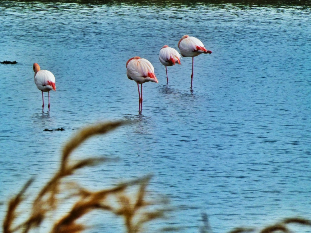 The Camargue flamingos, southern France