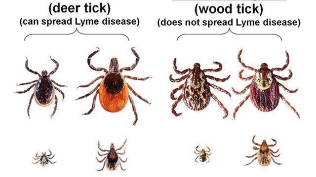 Although there are many different species of ticks, the one to keep an eye out for are deer ticks. Also known as blacklegged ticks, this species is is the most dangerous, being the                                                 only one known to carry Lyme disease.                          For more information, visit:  https://www.cdc.gov/features/stopticks/