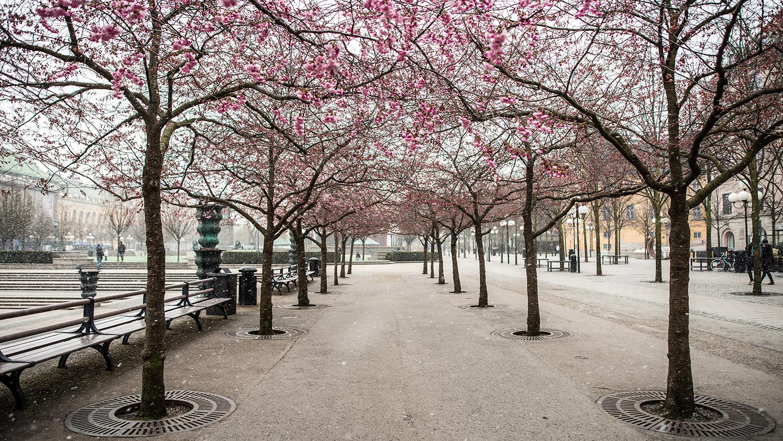 Kungsträdgården in cherry blossom season
