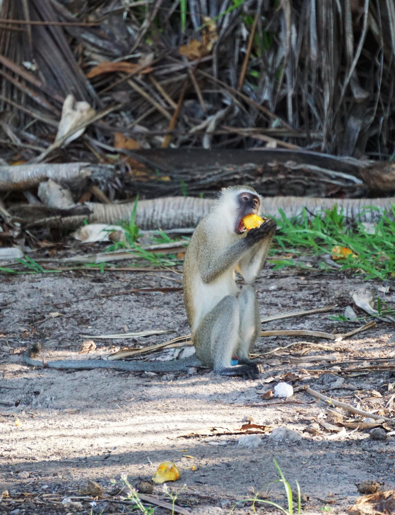 Monkey Dinner 2