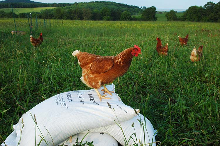 Chicken_on_a_feed.jpg