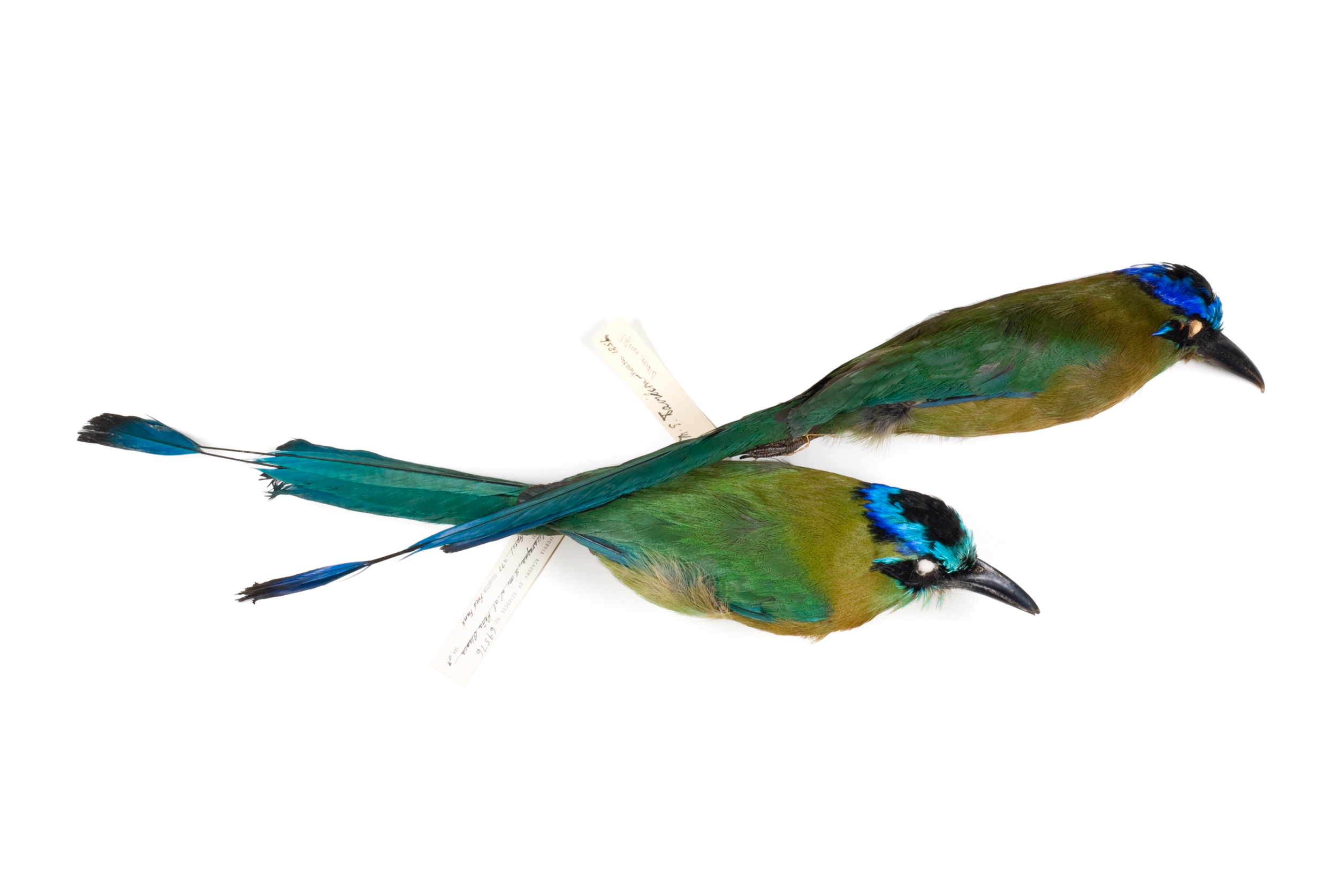 "blue-crowned motmot   8"" x 12"" or 12"" x 18""  2007"