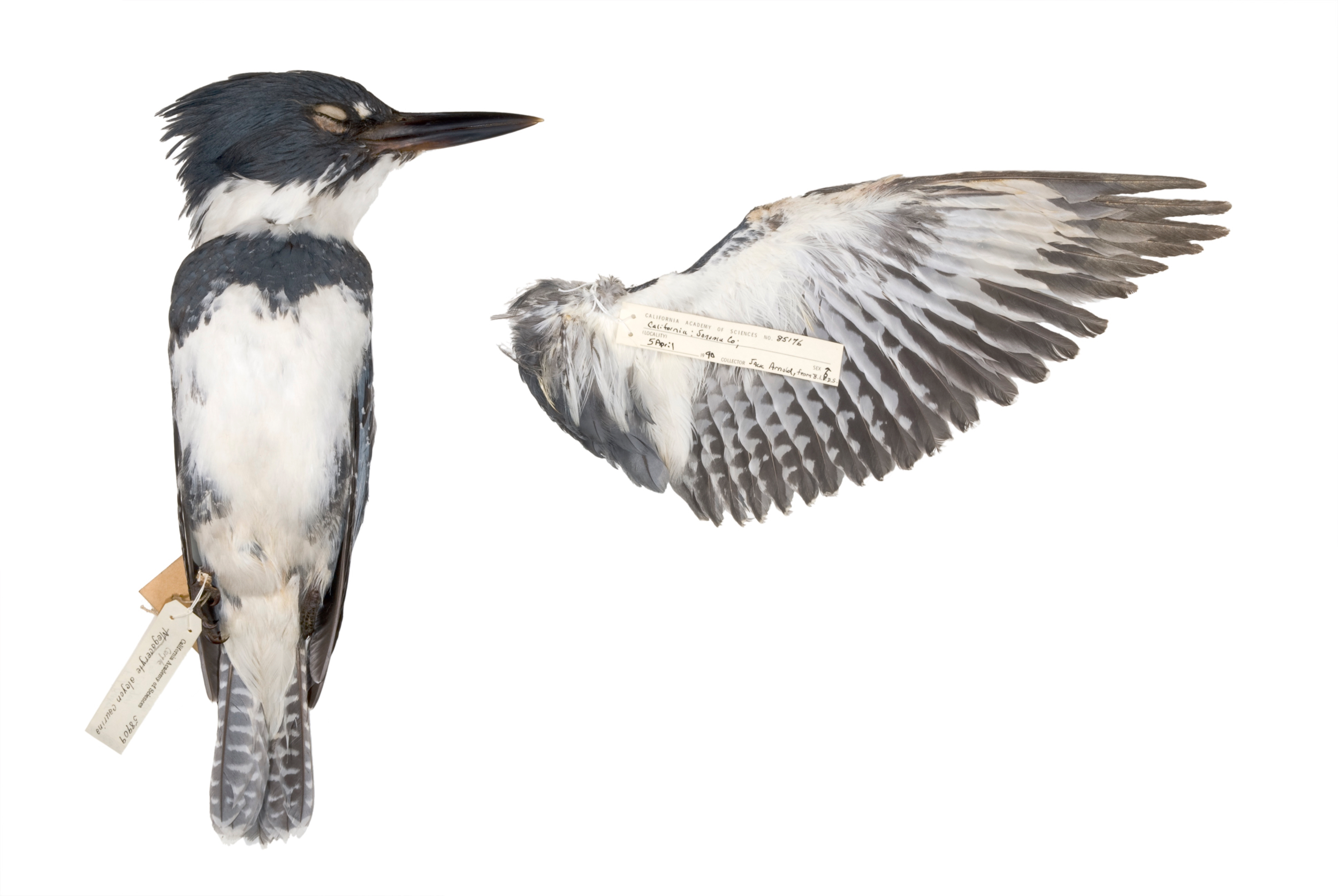 "belted kingfisher 1   8"" x 12"" or 12"" x 18""  2007"