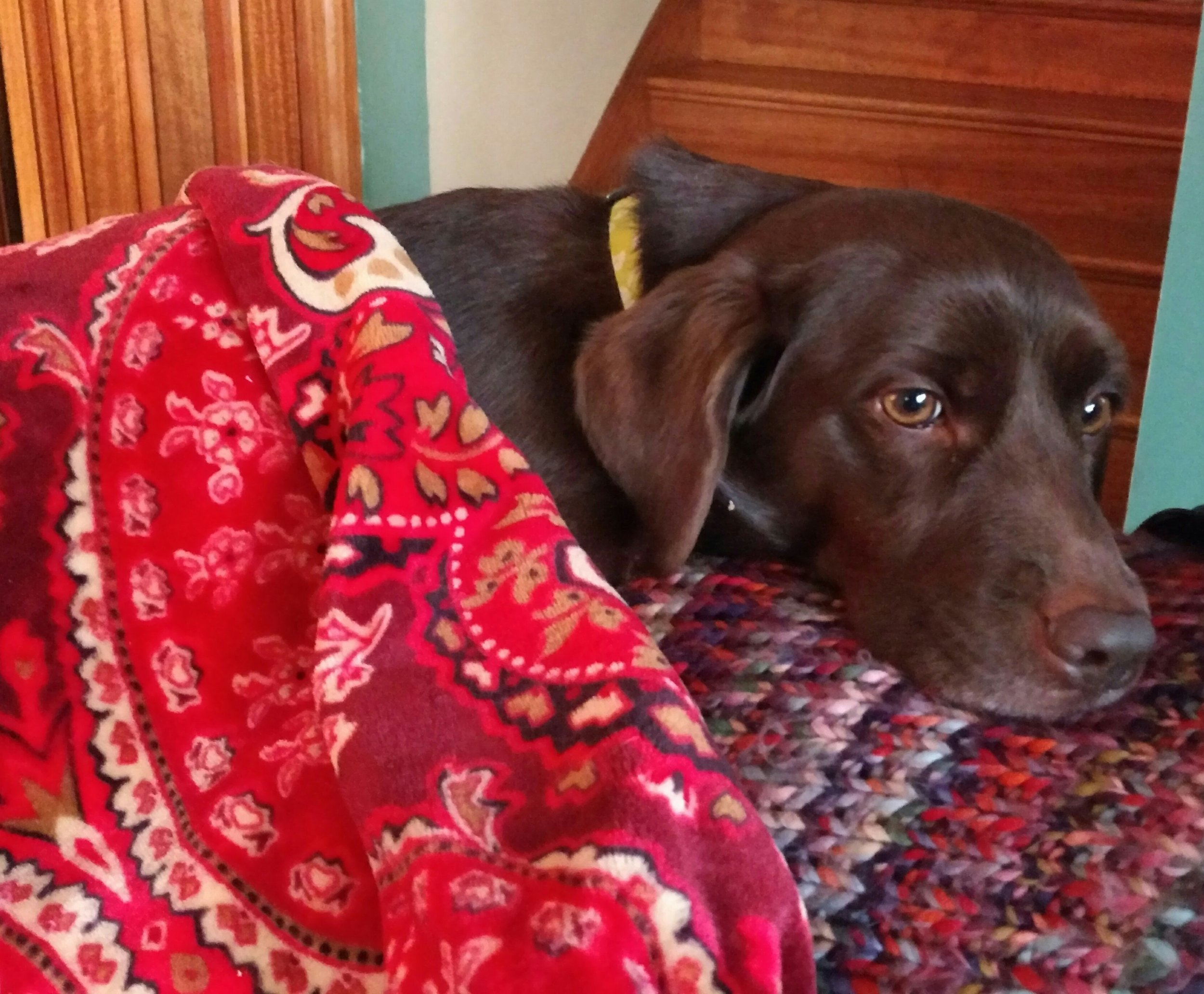Molly Mogg, the ridiculous, chocolate pocket lab