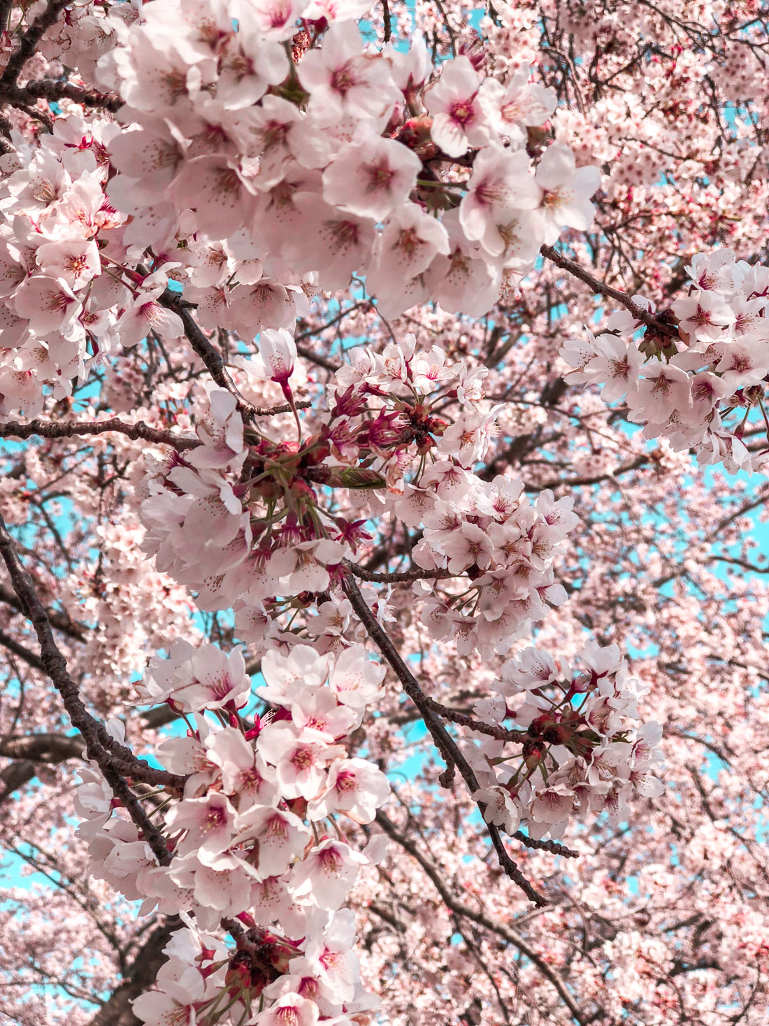 Cherry-Blossoms_FujiKawaguchiko_Hello-Miss-May.jpg