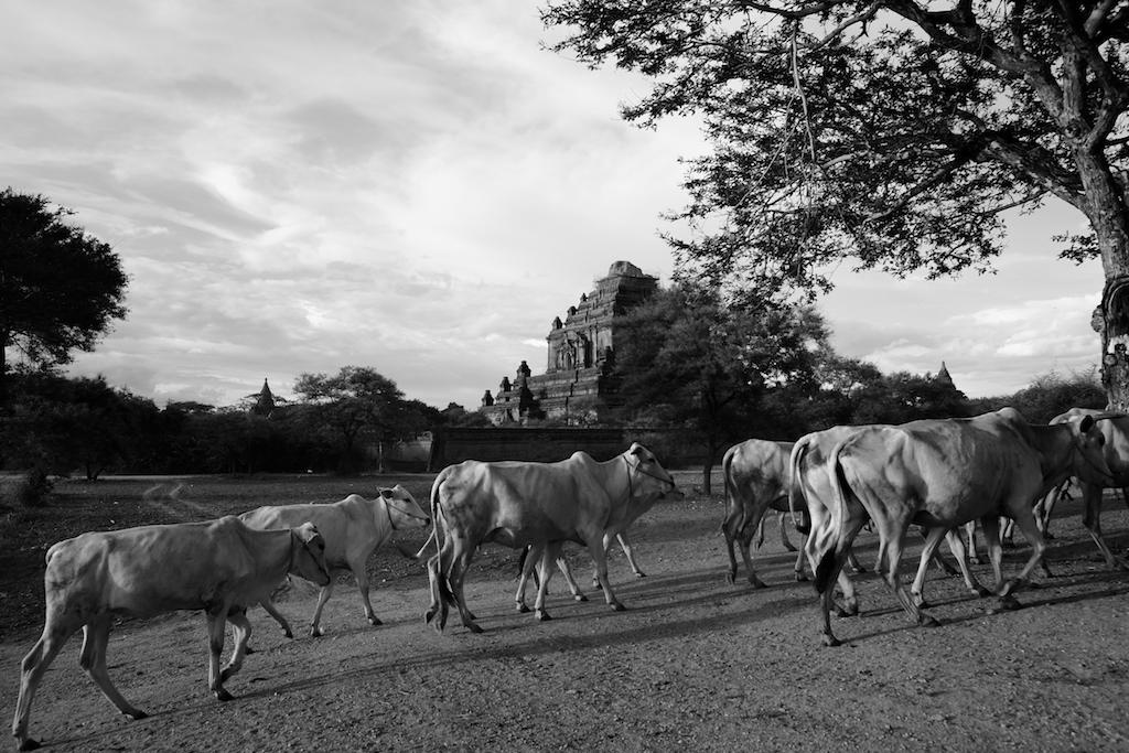Random Cows and Sulamani Temple