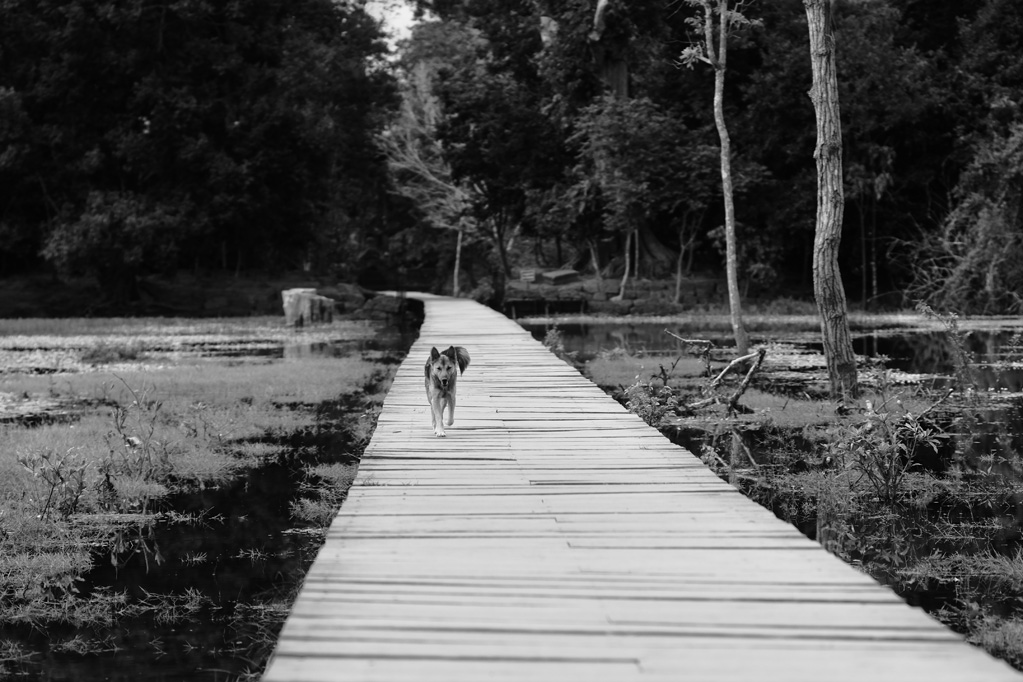 Day 2: Dog leaving Neak Pean Temple