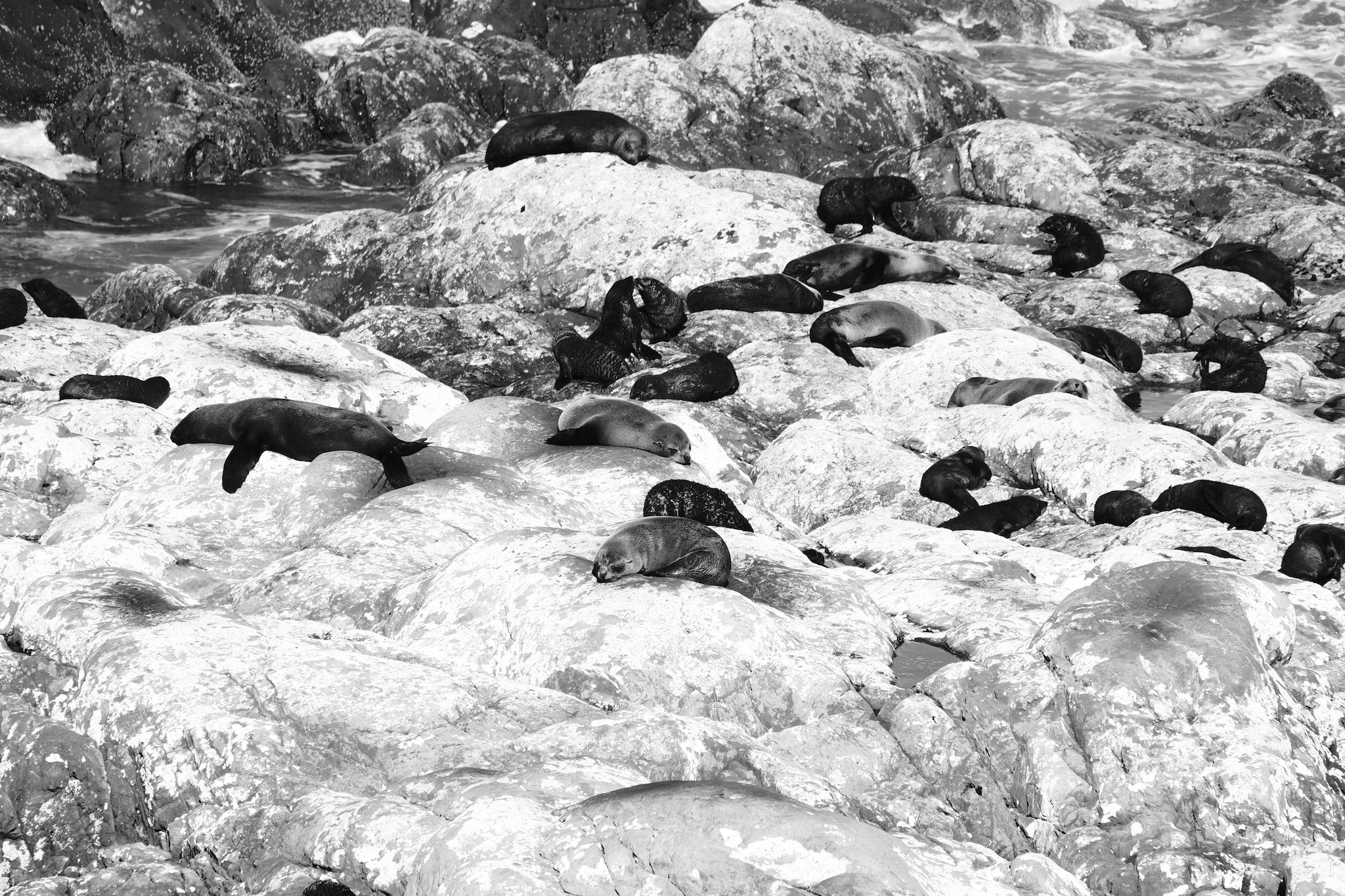 Baby Fur Seals, Ohau Point
