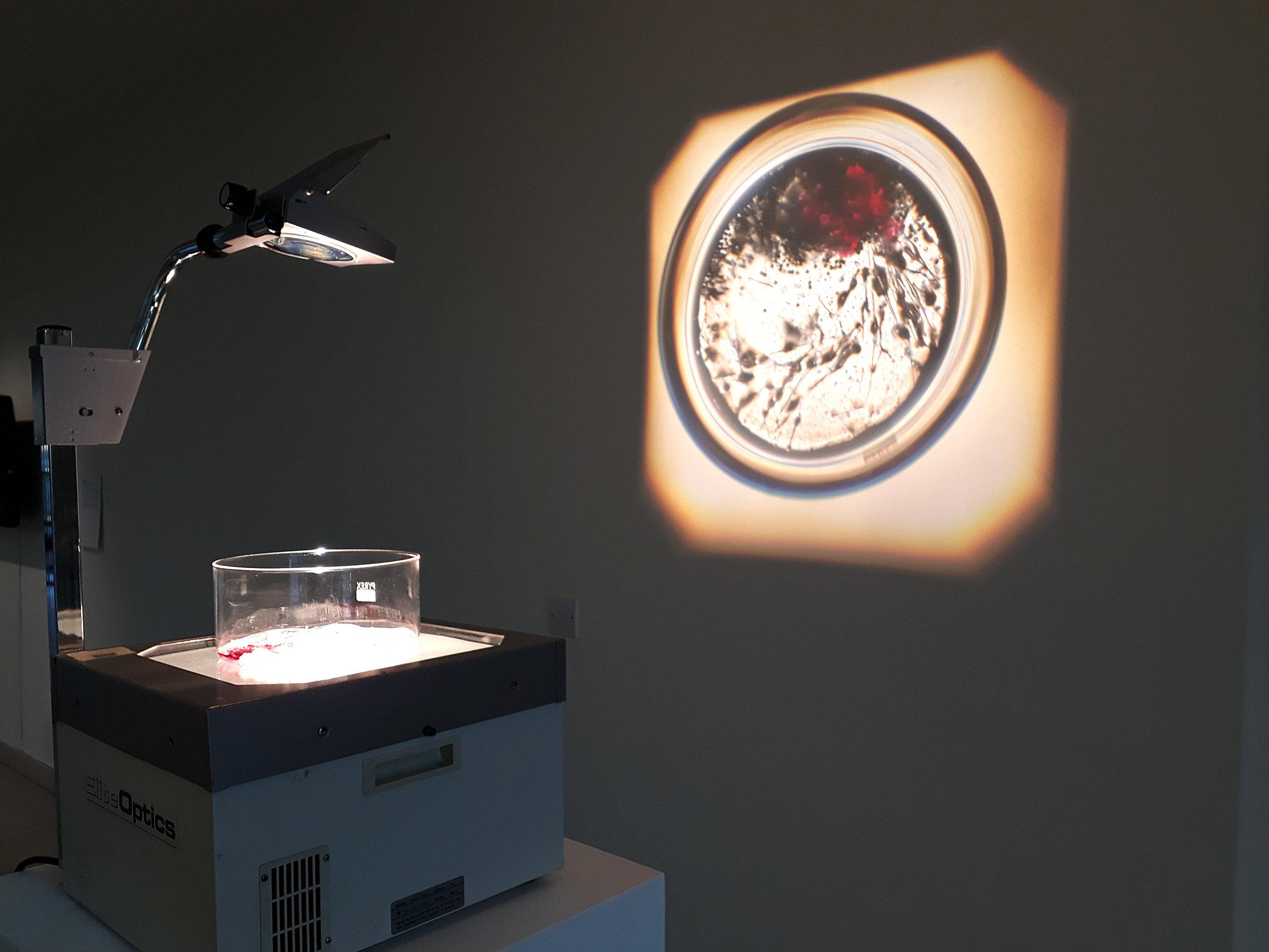 Caption : 'dermo fibroblasts, in vitro', mixed media installation 2018. Photo: Charlie Murphy