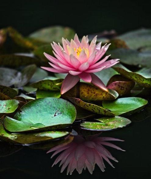 Lotus Julie.jpg