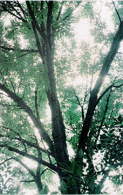 """""""Annarbor tree"""" – Photo: Licensed under CC BY-SA 3.0, Wikimedia Commons"""