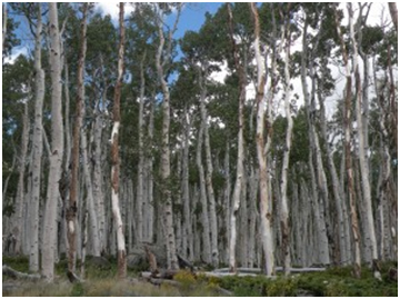 "From the ""Seizing an Alternative"" program notes: ""Above ground, Pando appears to be a grove of individual trees, but underground, the trees are interconnected by a single and vast root system, genetically identical. It is one tree . . . and among the different strategies adopted by living organisms to survive in difficult circumstances, Pando does especially well in competition with other organisms in the midst of life-threatening natural disasters like fires, landslides, and floods. Other organisms, struggling to survive in the context of radically deprived nutritional resources, can't compete with Pando, which receives nutrition and support from the whole of its extensive root system. Despite surviving countless natural disasters, however, Pando is now under threat from human activities – from an exploding deer and elk population, due to the elimination of predators, from misplaced development, and by the impending prospect of radical climate change."" (Learn more at www.pandopopulus.com.)"