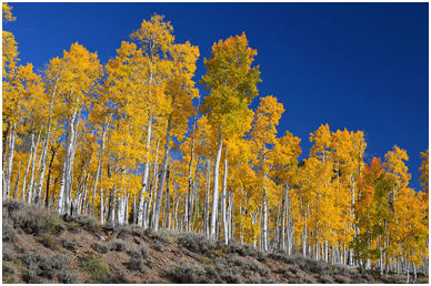 This grove of Quaking Aspens in the Fishlake National Forest, connected underground, is called Pando, a single organism. – Photo: Wikipedia Commons