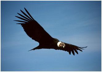 A South American condor – Photo: Wikipedia