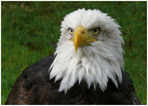 A North American bald eagle – Photo: Wikipedia