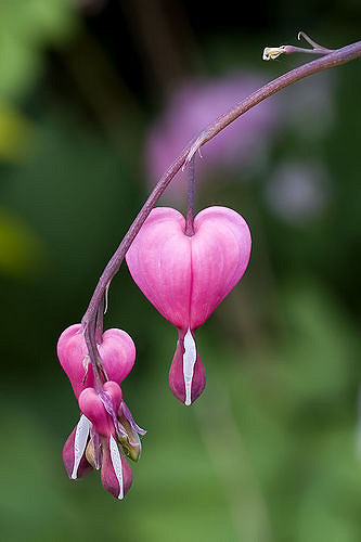 "Bleeding Heart flower. ""Inner transformation will come when our hearts bleed with compassion for earth."" – Photo:    Jeff Jenkins, C.c. 2.0 nc nd"