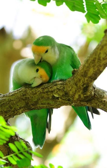 Peach-faced Love Birds – Photo:  Pinterest