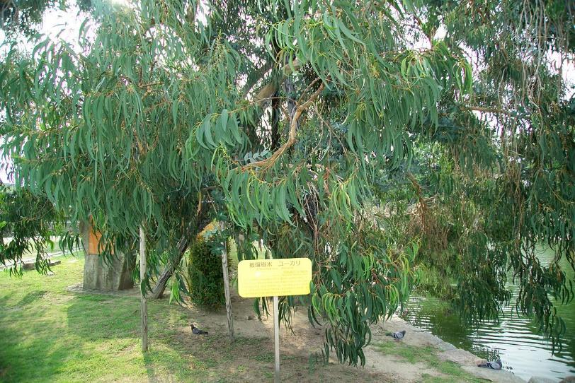 Eucalyptus tree at Hiroshima Castle, Hiroshima, Japan. Located 740 miles from Ground Zero – Photo:    Wikimedia