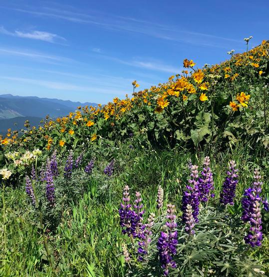 Photo: Wildflowers on Dog Mountain, May 2018. KBodden.