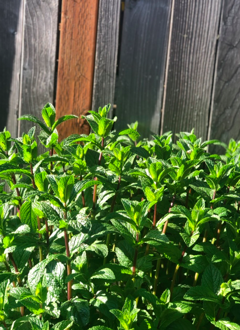 Photo: Mint from Dr. Kat's garden