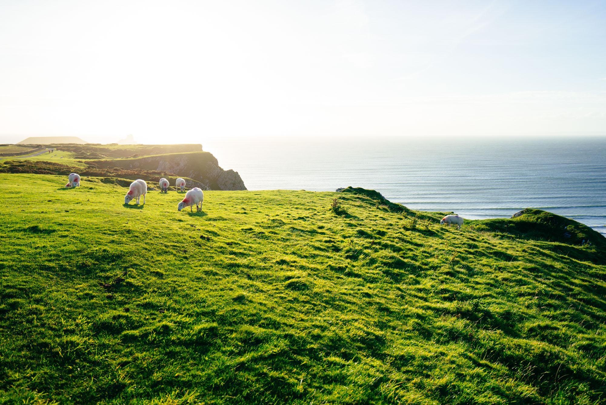 Rhossili at sunset + sheep