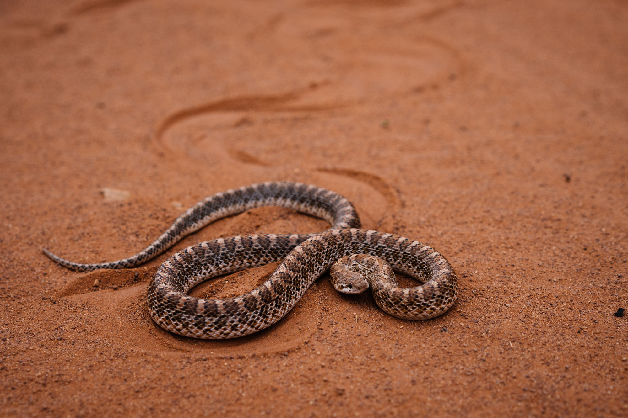 Snake in the road, Monument Valley, Arizona