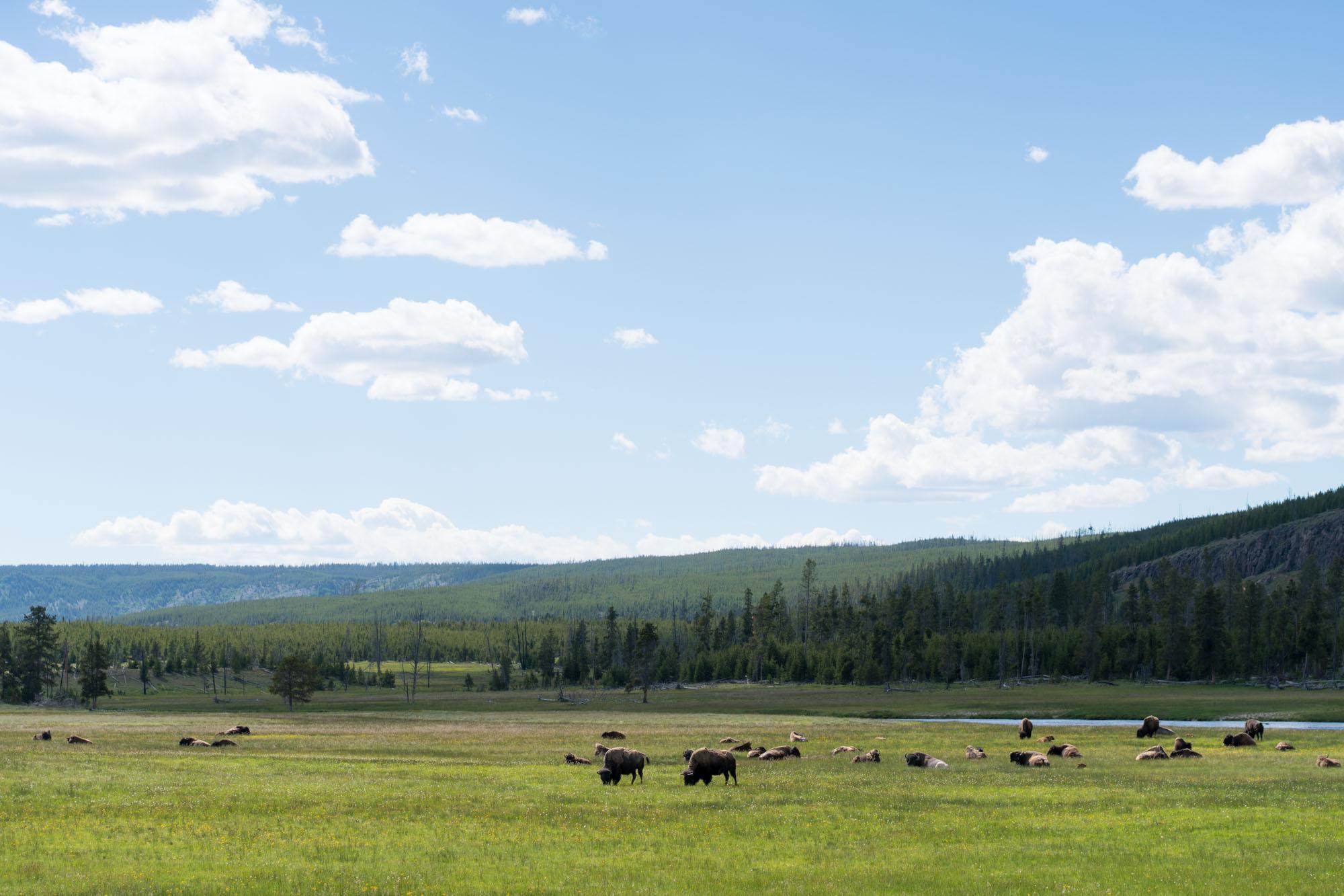 Where the buffalo roam, Yellowstone NP