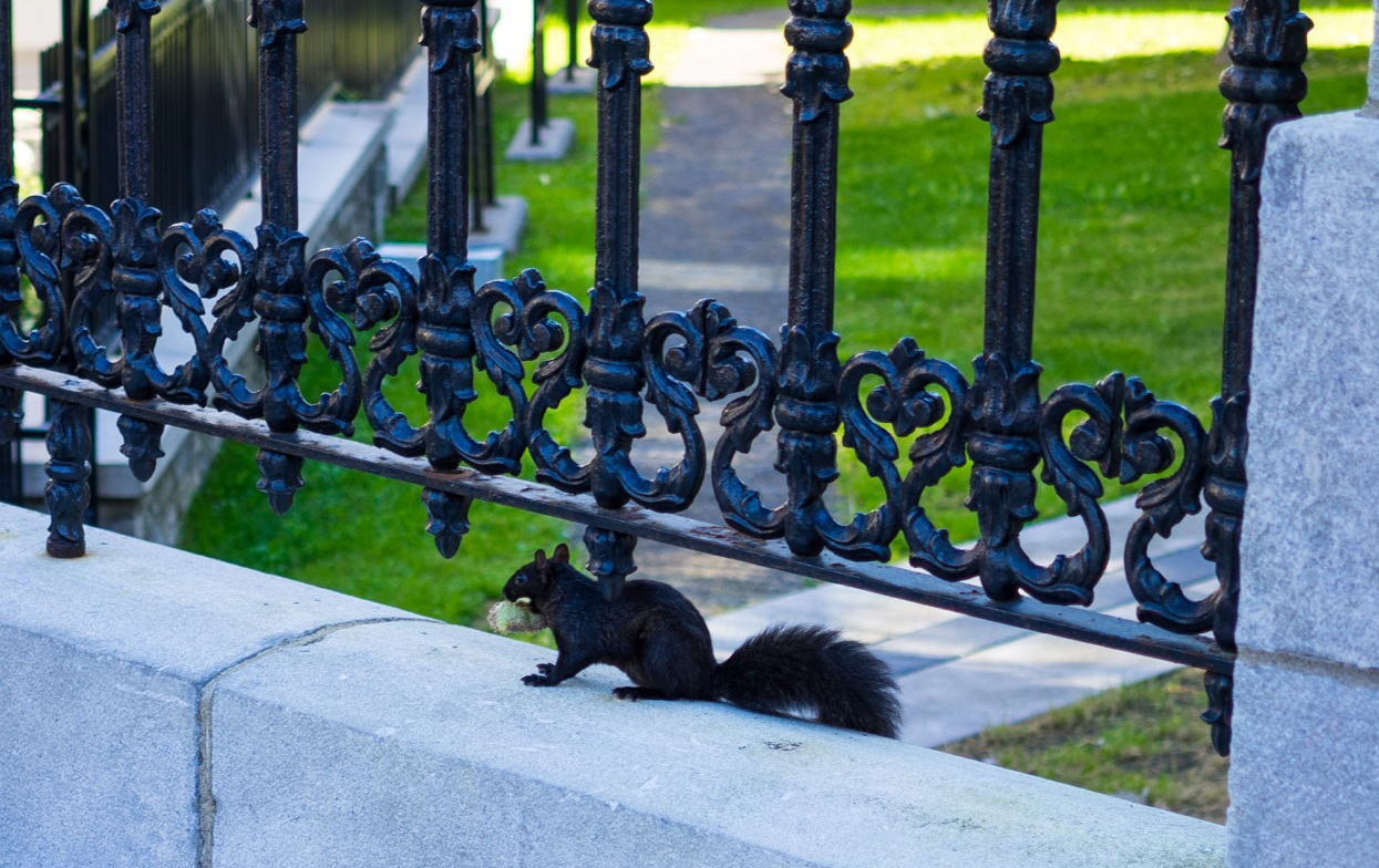 I lost it after seeing this black squirrel outside of Notre-Dame de Québec Basilica Cathedral