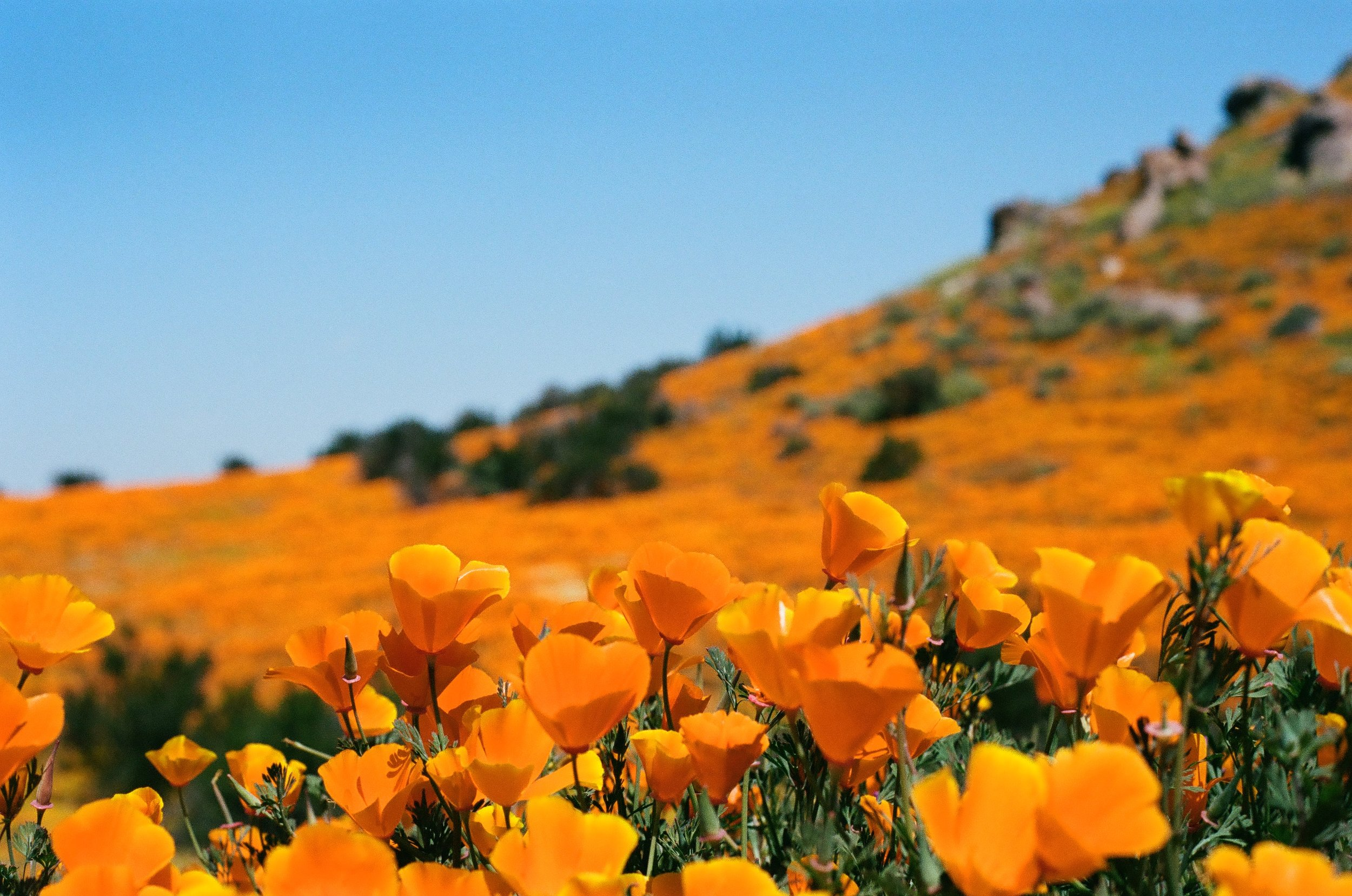 California Poppy Super Bloom, 35mm
