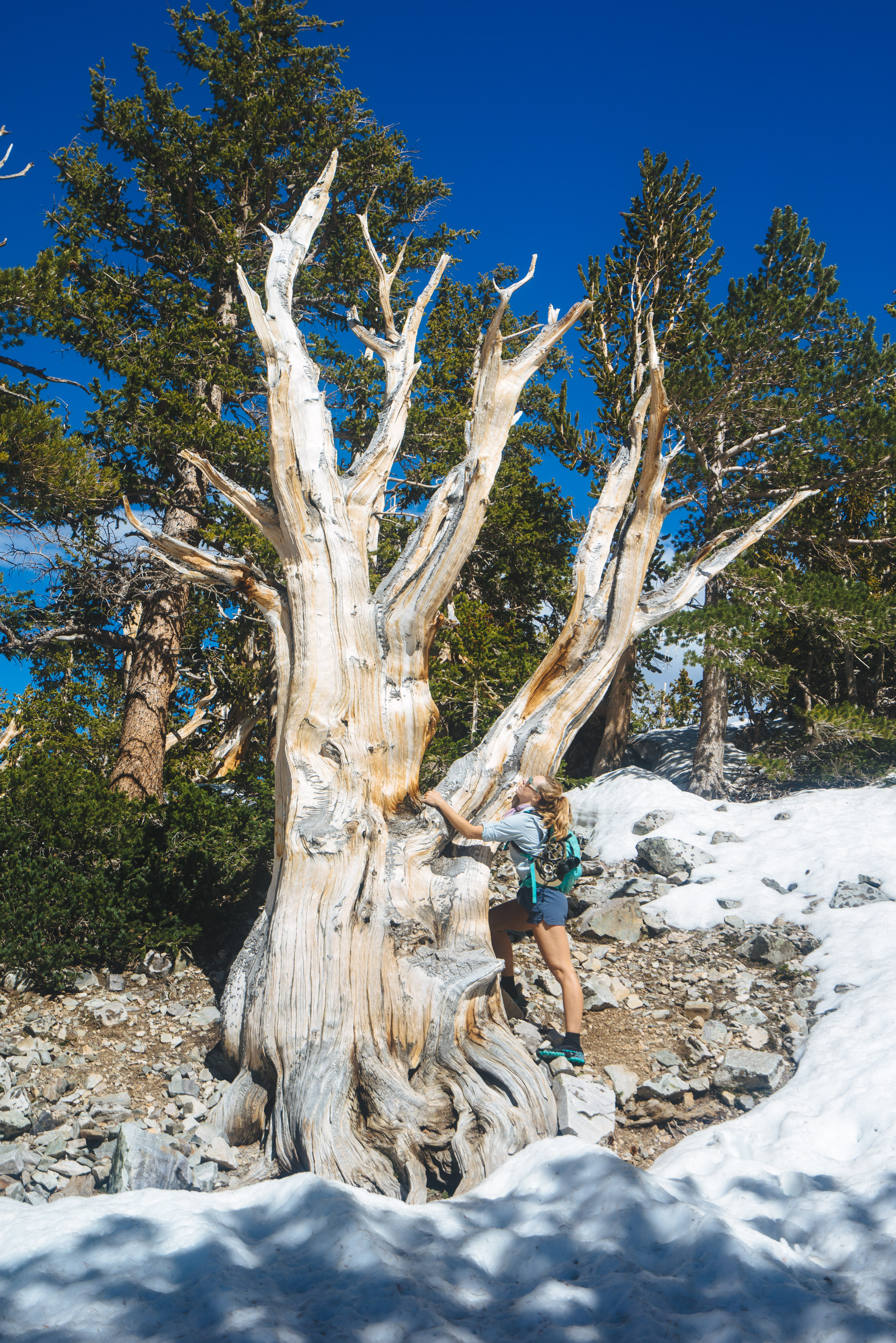 Bristlecone Pine, Great Basin NP, Nevada while on a training hike in the snow