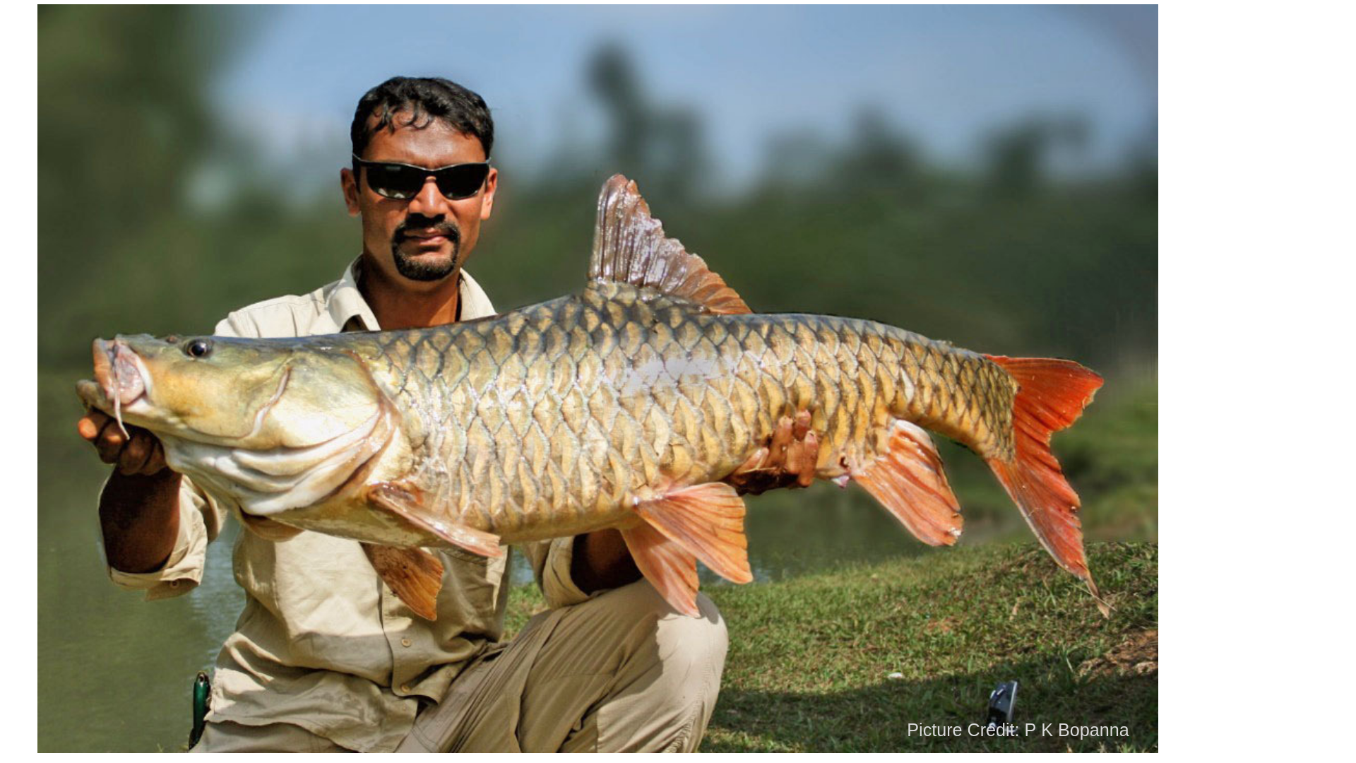 Hump-back mahseer in Kodagu - Picture Credit: P K Bopanna