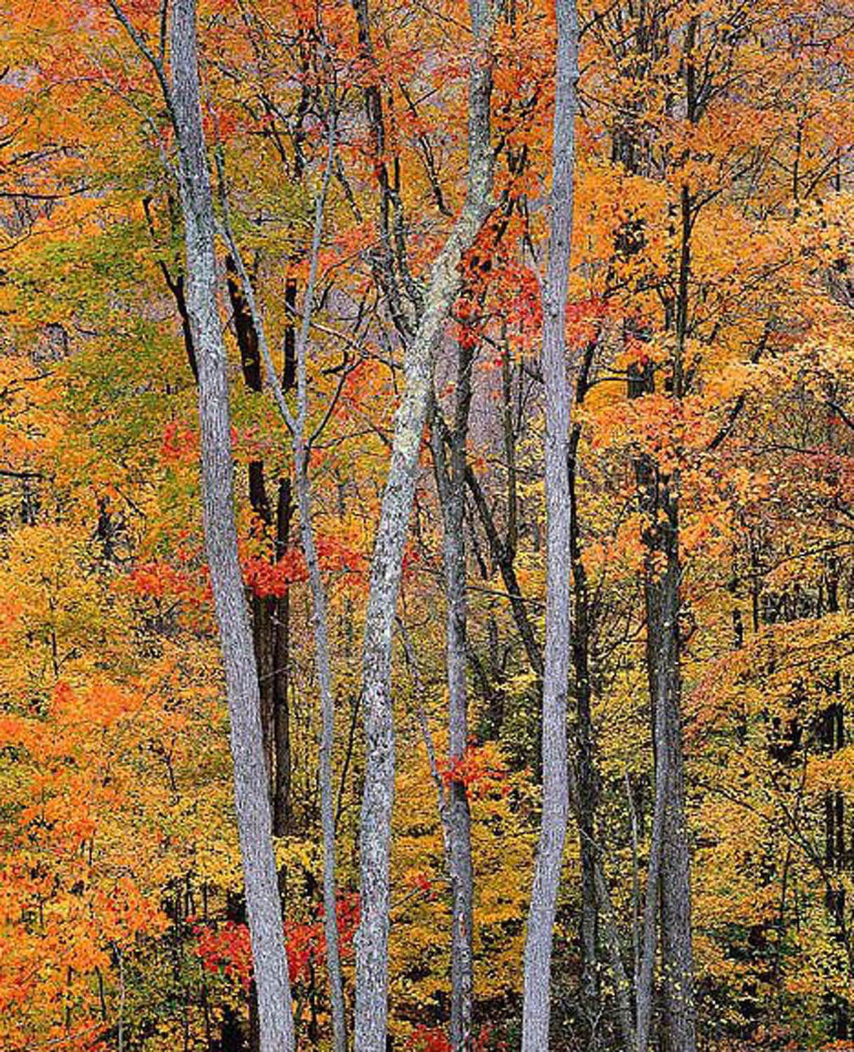 """Christopher Burkett """"Allegheny Autumn Forest,"""" Pennsylvania     Cibachrome Photograph     Available in 24"""" x 20"""", 40"""" x 30"""", and 50"""" x 40"""""""