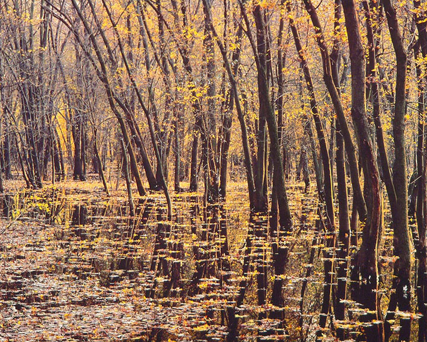 """Christopher Burkett """"Amber Forest Light,"""" New Jersey     Cibachrome Photograph     Available in 20"""" x 24"""", 30"""" x 40"""", and 40"""" x 50"""""""