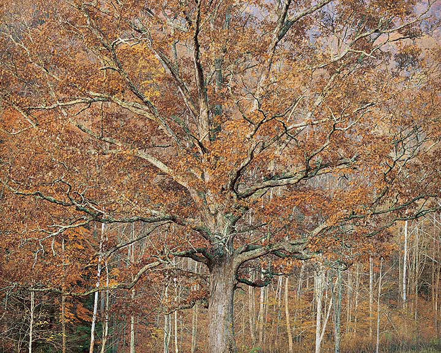 """Christopher Burkett """"Ancient Oak and Autumn Sunrise,"""" West Virginia     Cibachrome Photograph     Available in 20"""" x 24"""", 30"""" x 40"""", and 40"""" x 50"""""""