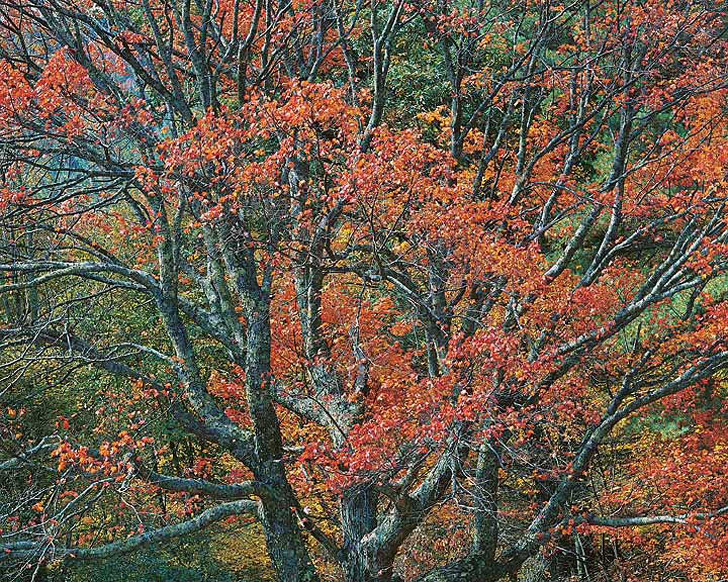 """Christopher Burkett """"Ancient Red Maple,"""" North Carolina     Cibachrome Photograph     Available in 20"""" x 24"""", 30"""" x 40"""", and 40"""" x 50"""""""