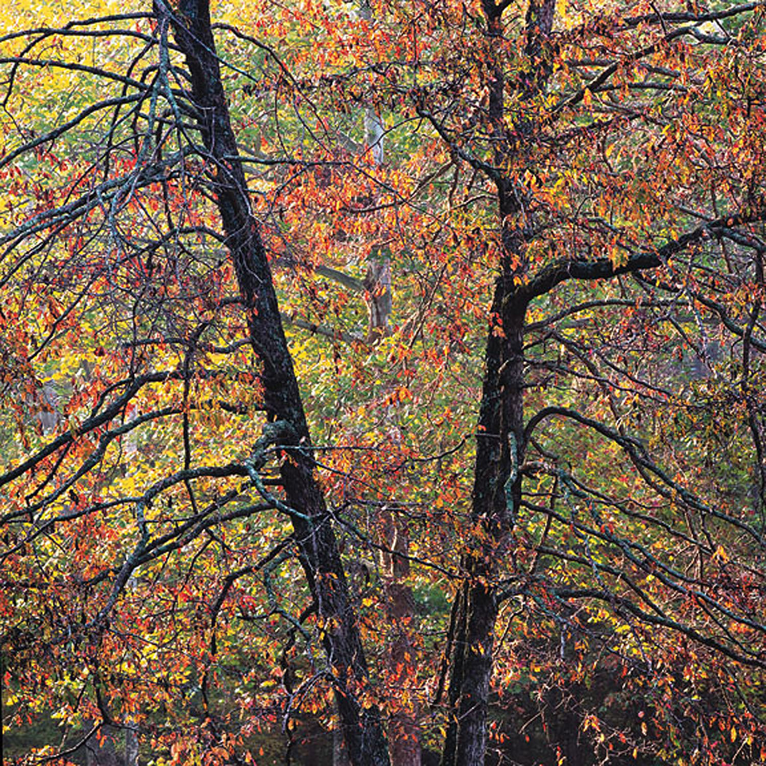 """Christopher Burkett """"Arboreal Sunrise,"""" Kentucky     Cibachrome Photograph     Available in 20"""" x 20"""", 30"""" x 30"""", and 40"""" x 40"""""""