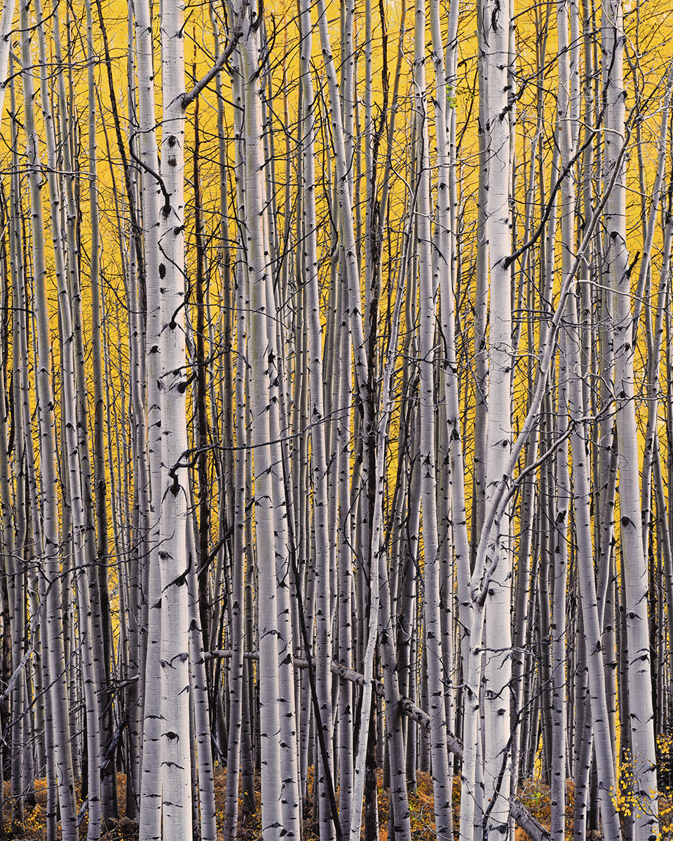 """Christopher Burkett """"Aspen Thicket,"""" Colorado     Cibachrome Photograph     Available in 24"""" x 20"""", 40"""" x 30"""", and 50"""" x 40"""""""