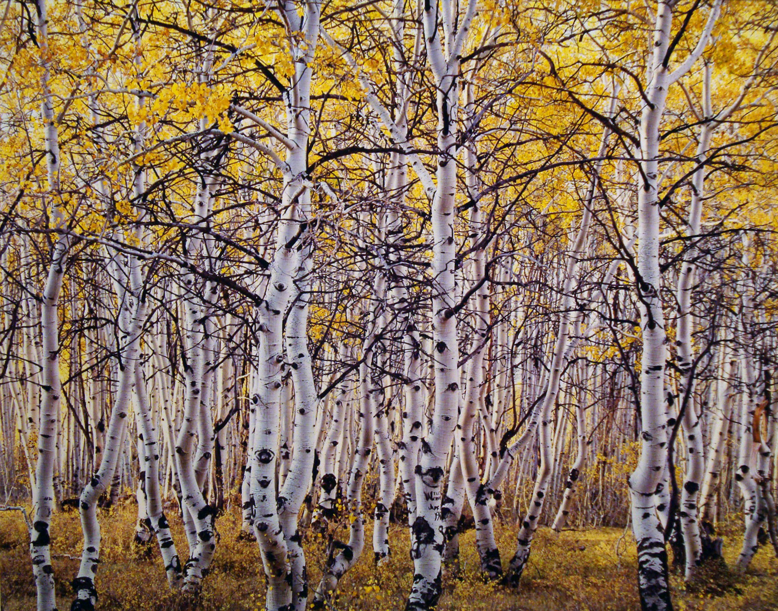"""Christopher Burkett """"Black Mountain Aspen Forest,"""" Utah     Cibachrome Photograph     Available in 20"""" x 24"""", 30"""" x 40"""", and 40"""" x 50"""""""