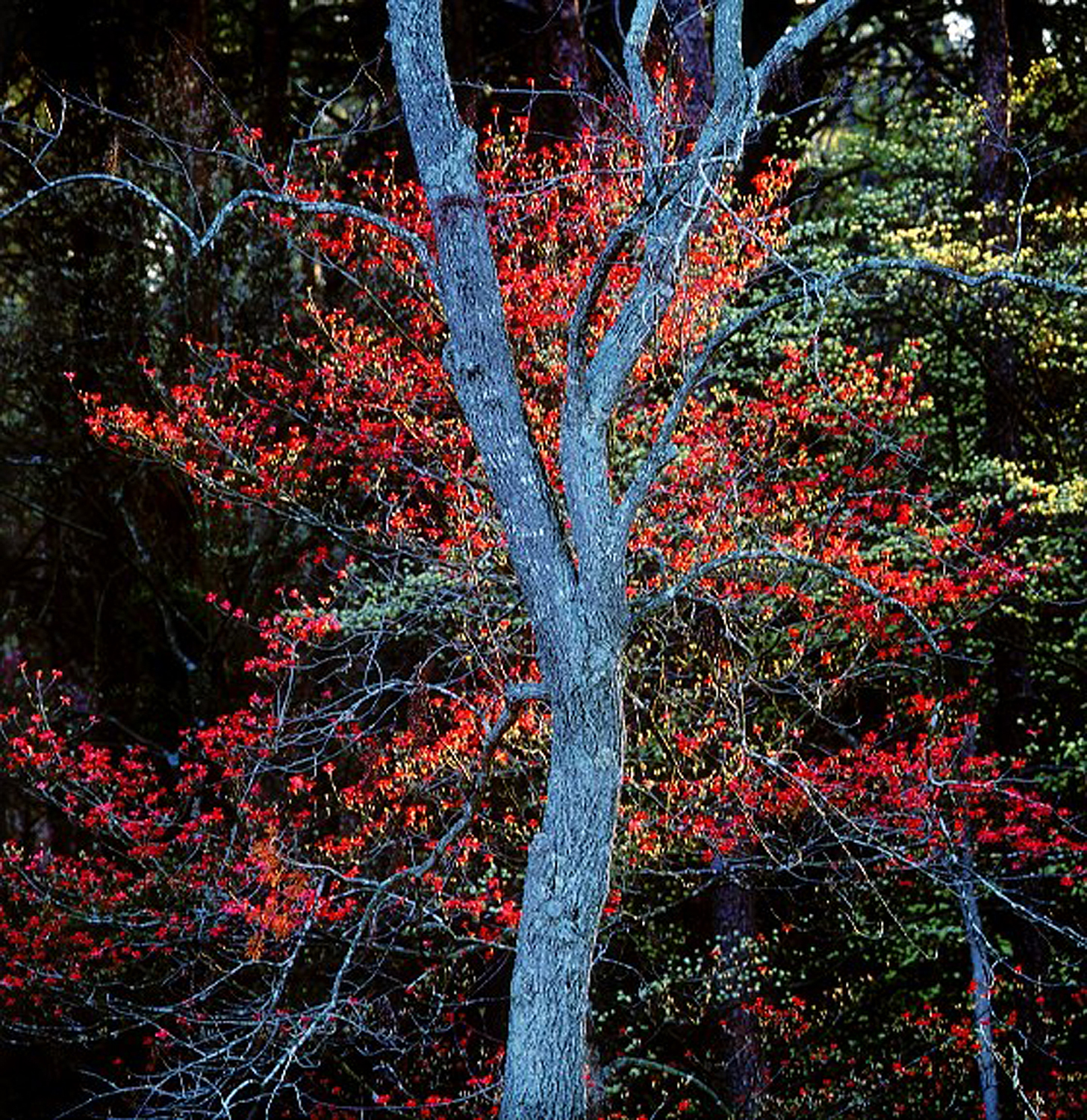 """Christopher Burkett """"Blue Trunk and Red Dogwoods,"""" Kentucky     Cibachrome Photograph     Available in 20"""" x 20"""", 30"""" x 30"""", and 40"""" x 40"""""""