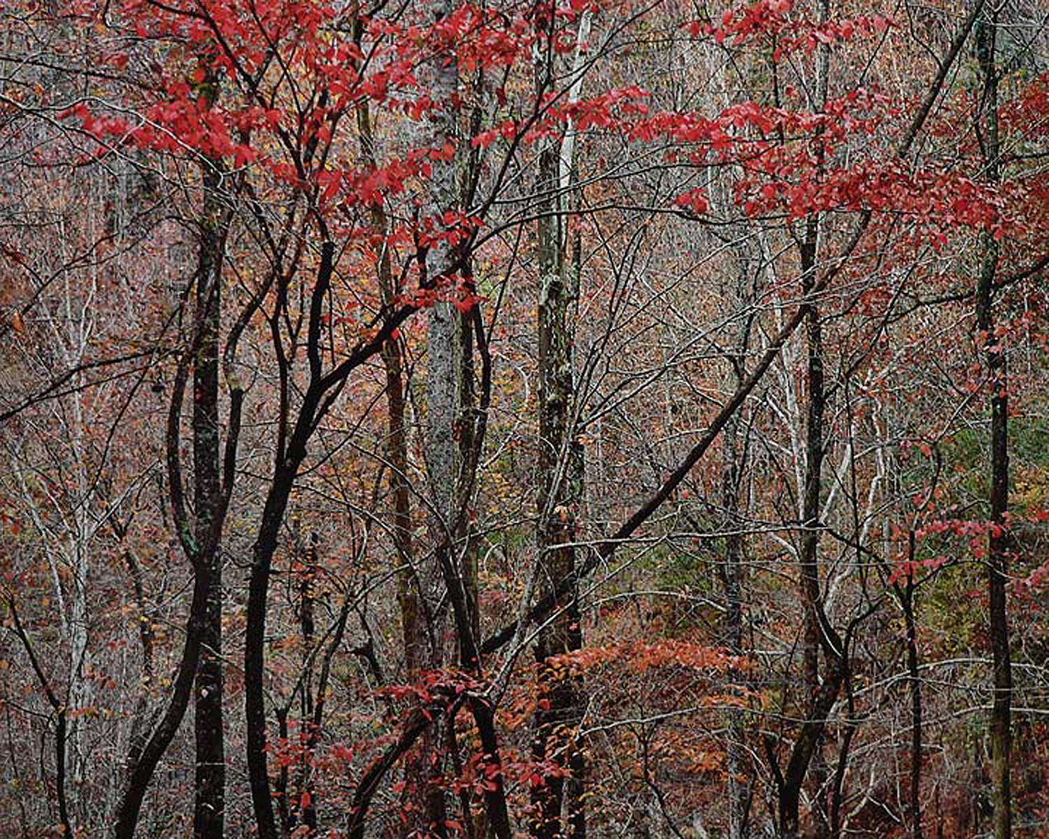 """Christopher Burkett """"Bold Autumn Forest,"""" Tennessee     Cibachrome Photograph     Available in 20"""" x 24"""", 30"""" x 40"""", and 40"""" x 50"""""""