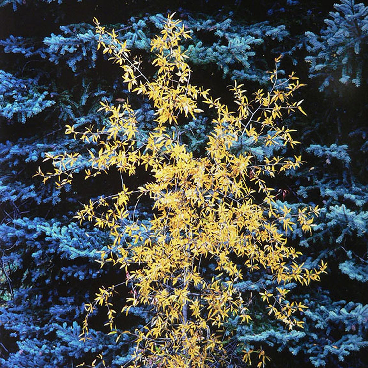 """Christopher Burkett """"Bright Young Cottonwood,"""" Colorado     Cibachrome Photograph     Available in 20"""" x 20"""", 30"""" x 30"""", and 40"""" x 40"""""""