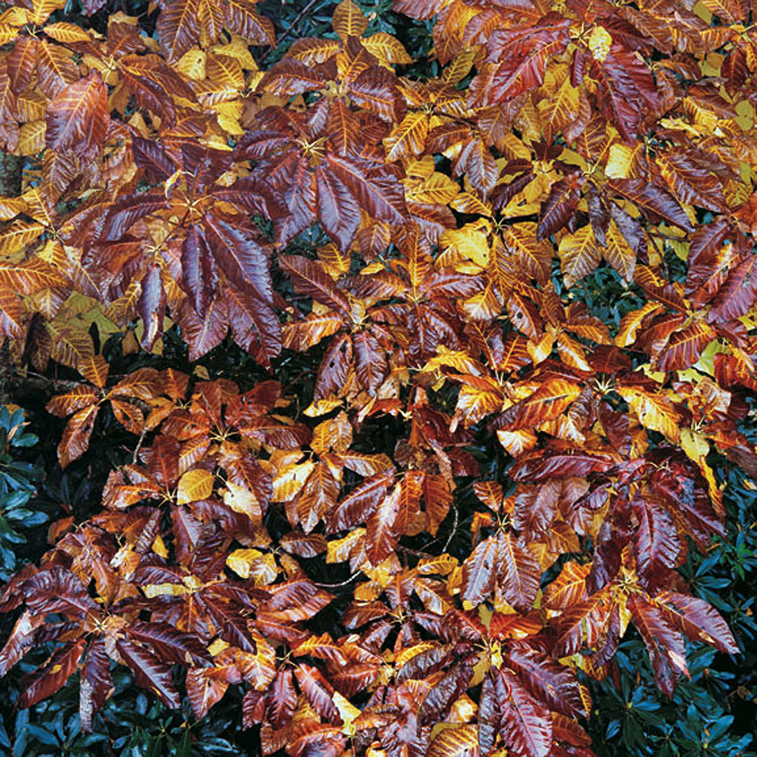 """Christopher Burkett """"Bronzed Buckeye Leaves,"""" North Carolina     Cibachrome Photograph     Available in 20"""" x 20"""", 30"""" x 30"""", and 40"""" x 40"""""""