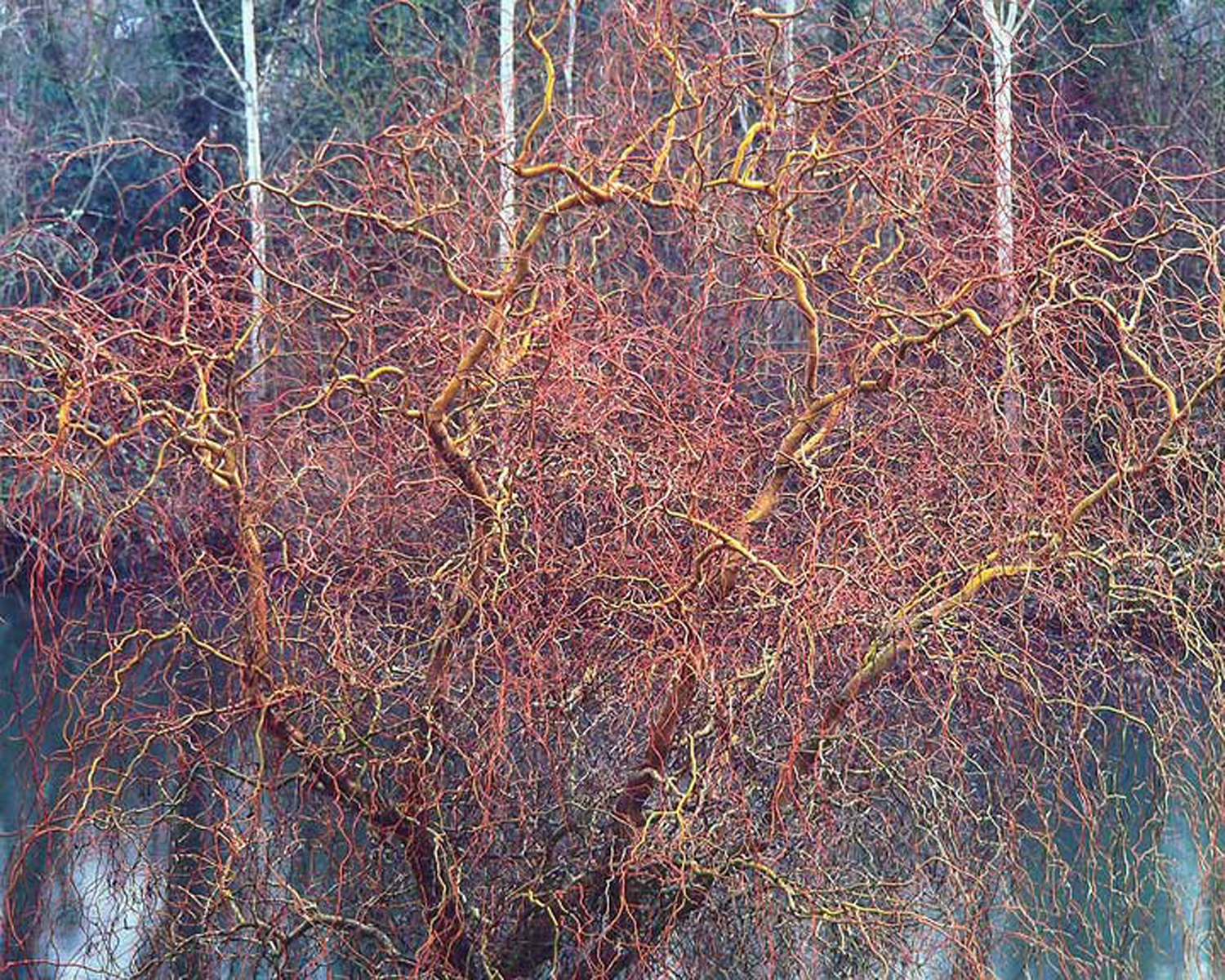 """Christopher Burkett """"Byzantine Willow,"""" Oregon     Cibachrome Photograph     Available in 20"""" x 24"""", 30"""" x 40"""", and 40"""" x 50"""""""