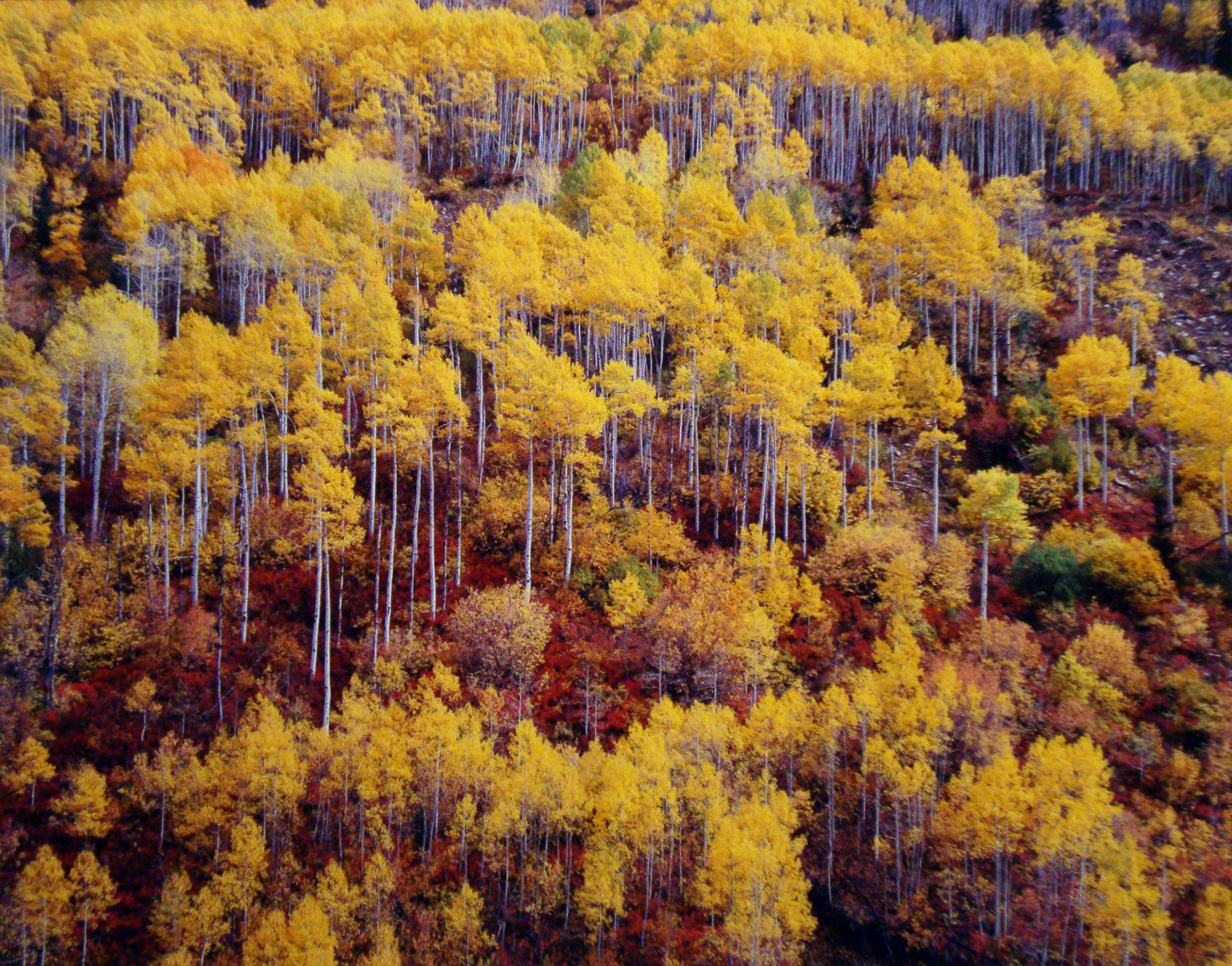 "Christopher Burkett ""Golden Aspen and Red Oak Mountainside,"" Utah  Cibachrome Photograph  Available in 20"" x 24"", 30"" x 40"", and 40"" x 50"""