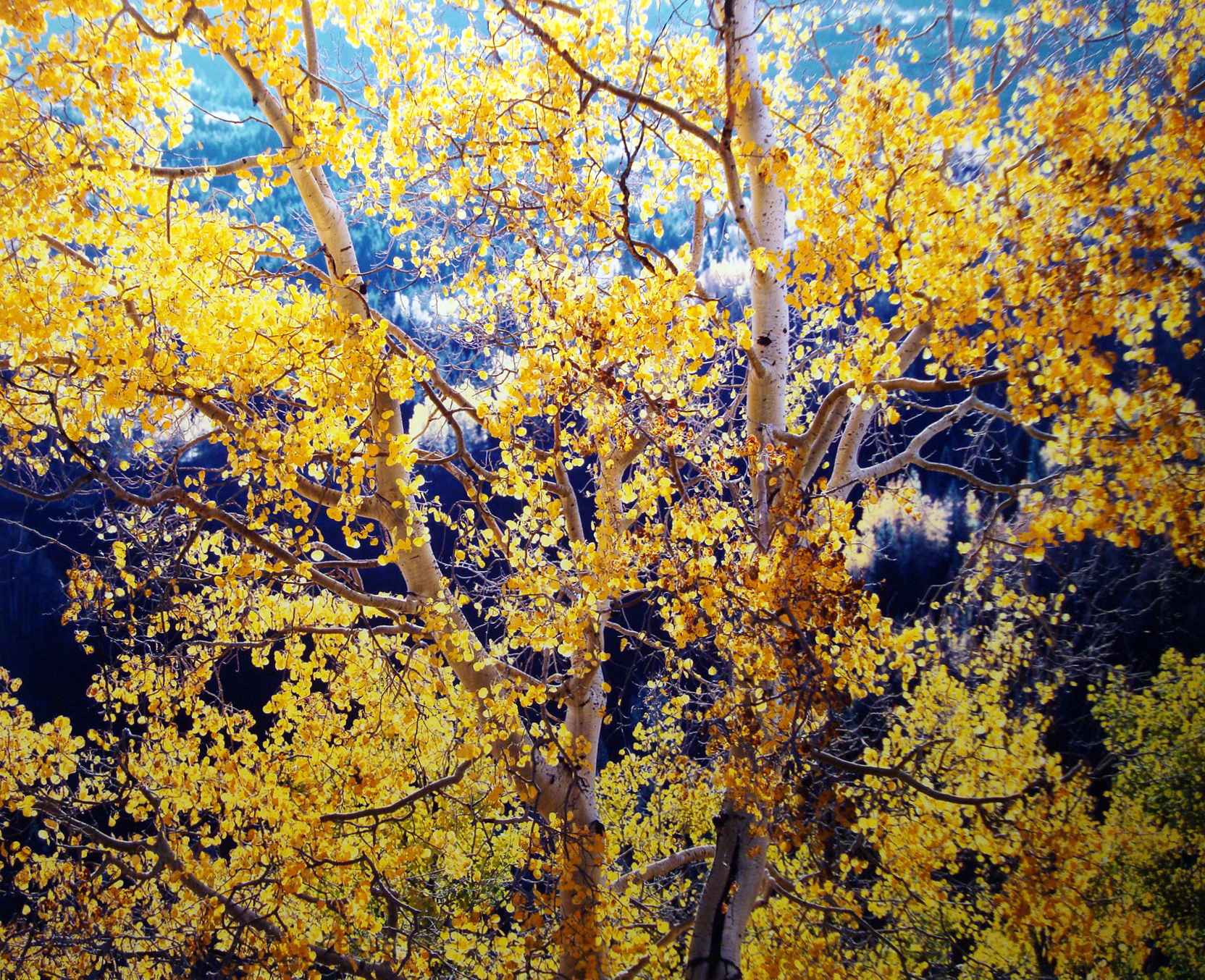 "Christopher Burkett ""Radiant Mountain Aspen,"" Colorado  Cibachrome Photograph  Available in 20"" x 24"", 30"" x 40"", and 40"" x 50"""