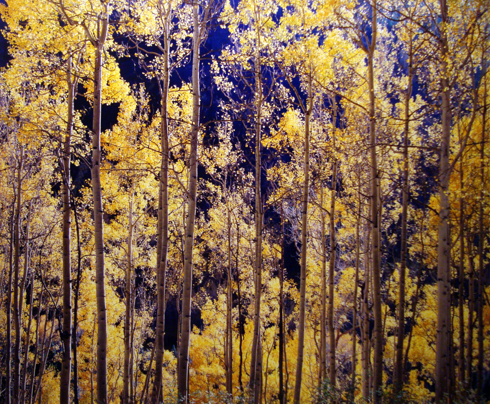 "Christopher Burkett ""Telluride Aspens,"" Colorado  Cibachrome Photograph  Available in 20"" x 24"", 30"" x 40"", and 40"" x 50"""